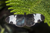 Sapho longwing butterfly — 图库照片
