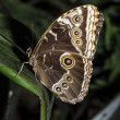 Blue Morpho Butterfly — Foto Stock #27840435