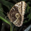 Blue Morpho Butterfly — Stockfoto