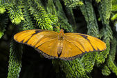 Julia Longwing (Dryas iulia) Butterfly — Foto Stock