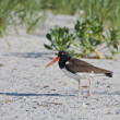 american oystercatcher — Stock Photo