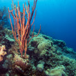 Stock Photo: Underwater coral reef Amphimedon compress(Erect Rope Sponge- r