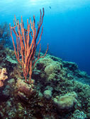 Underwater coral reef Amphimedon compressa (Erect Rope Sponge- r — Stock Photo
