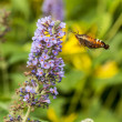 Hummingbird moth, sphinx moth — Stockfoto #29557803
