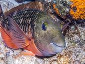 Sparisoma aurofrenatum redband 鹦嘴鱼 — 图库照片