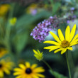 Rudbeckia hirta, black-eyed Susan — Stock Photo