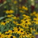 Rudbeckia hirta, black-eyed Susan — Stock Photo