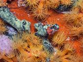 Underwater coral reef orange cup corals — Stock Photo