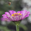 Stock Photo: Hovering bee