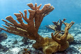 Underwater coral reef Elkhorn coral (Acropora palmata) — Stock Photo