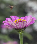 Hovering bee — Stock Photo