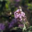 Kolibri Nachtfalter, die Sphinx Motte — Stockfoto