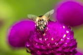 Hover anında kırmızı çiçek — Stok fotoğraf