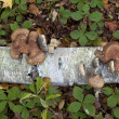 Birch polypore mushroom — Stock Photo