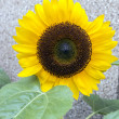 Foto de Stock  : Sunflower (Helianthus annuus)