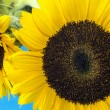 Sunflower (Helianthus annuus) — Stockfoto #33759311