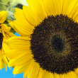 Sunflower (Helianthus annuus) — Foto Stock #33759311