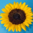 Sunflower (Helianthus annuus) — Foto Stock #33759377