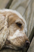 English Cocker Spaniel — Stock Photo