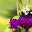 Bumblebee feeding on flower — Stock Photo