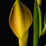 Постер, плакат: Zantedeschia aethiopica calla lily