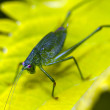 Katydid on leaf — Stock Photo #36335187
