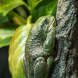 Mexican dumpy tree frog — Stock Photo