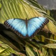 Stock Photo: Morpho butterfly