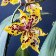 Odontocidium Wildcat — Stockfoto #37934779