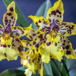 odontocidium wildcat — Stockfoto #37934809
