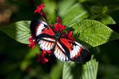 Heliconius butterfly Piano key — Stock Photo