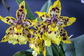 Odontocidium Wildcat — Stock Photo