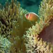 Clownfish or anemonefish — Stock Photo