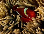 Spinecheek anemonefish — Foto Stock