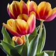Постер, плакат: Red and yellow tulip
