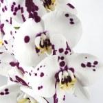 ������, ������: Phalaenopsis Moth Orchid