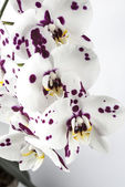 Phalaenopsis, Moth Orchid — Stock Photo