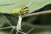 A Monarch butterfly (Danaus plexippus) caterpillar f — Stock Photo