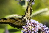 Swallowtail Papilionidae — Zdjęcie stockowe
