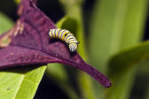 A Monarch butterfly (Danaus plexippus) caterpillar  — Foto Stock