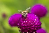 Hover fluga på röd blomma — Stockfoto