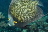 French angelfish — Stock Photo