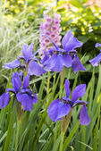Iris xiphium,Spanish Iris — Stock Photo