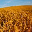 Stock Photo: Golden Fields of Wheat