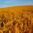 Golden Fields of Wheat — Stock Photo
