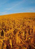 Golden Fields of Wheat — Stock Photo