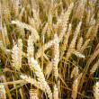 Golden wheat before harvest — Stock Photo #12702194