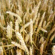 Golden wheat before harvest — Stock Photo