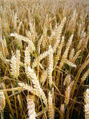 Golden wheat before harvest — Stock Photo