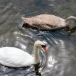 Stock Photo: Swans in river